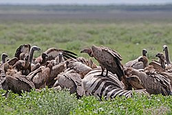 White-backed vultures (Gyps africanus) on zebra carcass.jpg