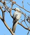 White-breasted cuckooshrike, Coracina pectoralis, at Lake Chivero, Harare, Zimbabwe (21785613530) (cropped).jpg