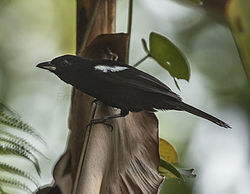 White-shouldered Tanager - Los Cusingos - Costa Rica MG 7492 (26630300691).jpg