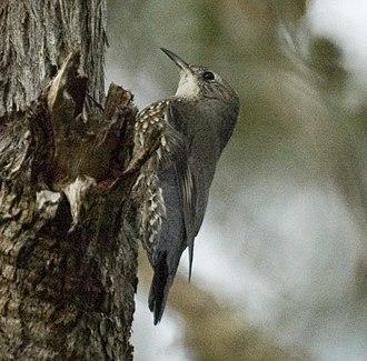 White-throated treecreeper - Male,  Kobble Creek, SE Queensland