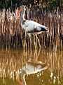White Ibis - Flickr - treegrow (3).jpg