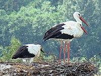 White Stork-Mindaugas Urbonas-2.jpg