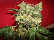 White Widow (Green House Seeds) 01.jpg