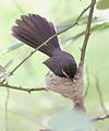 White throated Fantail I IMG 3048.jpg