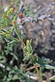 Whitestem blazingstar (Mentzelia albicaulis) 2017.05.13 10.24.20 IMG 9335 - Flickr - andrey zharkikh.jpg
