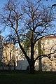 Wiener Naturdenkmal 456 - Sommerlinde (Währing) b.JPG