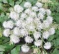 Wild Angelica (Angelica sylvestris), Stewarton, Ayrshire.jpg