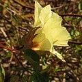 Wild Cotton - Flickr - treegrow (1).jpg