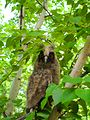 Wild owl in forest.JPG