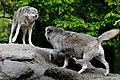Wildpark Bad Mergentheim. Wölfe beim Machtkampf.jpg