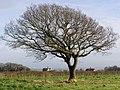 Windblown tree NFNP.jpg