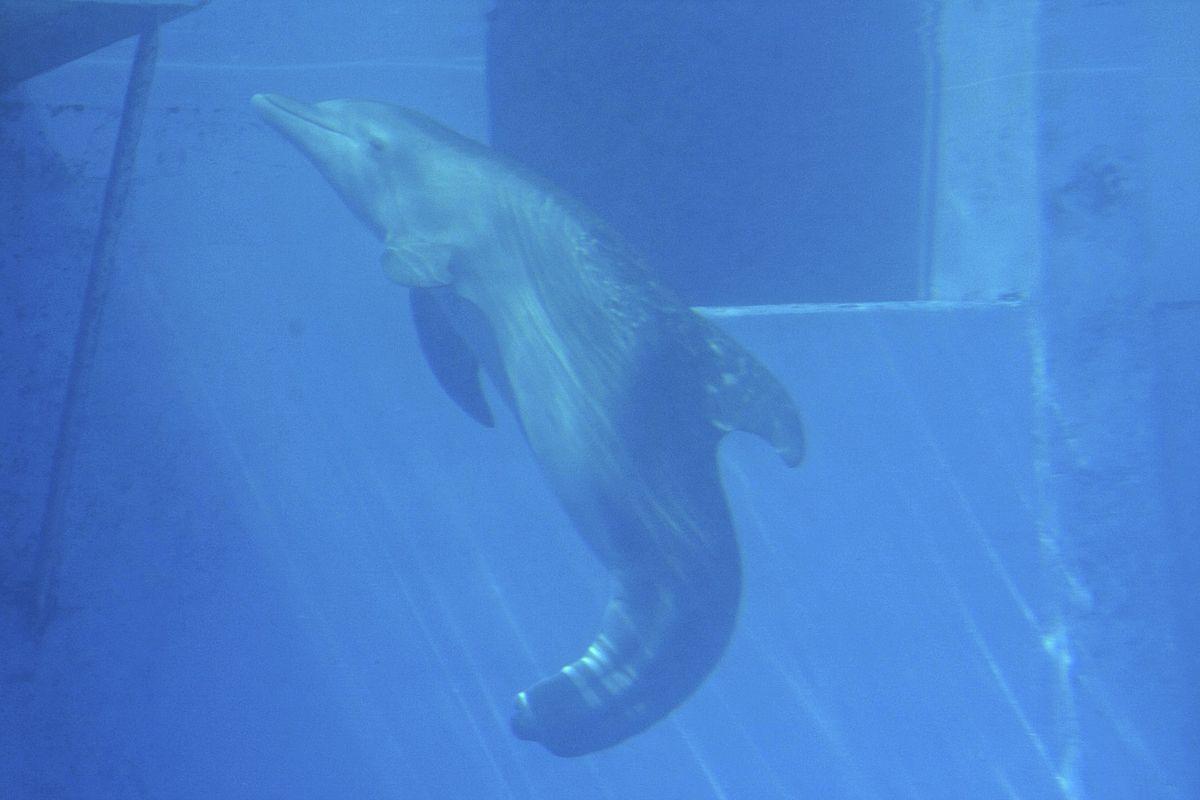 winter dolphin wikipedia