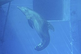 Winter tailless bottlenose dolphin.jpg