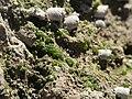 Wolffia arrhiza - Baie de Somme.jpg