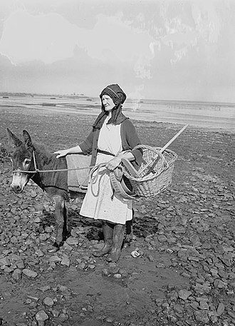 Penclawdd - Cockle harvester and donkey in 1951