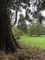 Wootton Court pinetum - geograph.org.uk - 1579145.jpg
