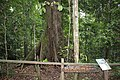 World's Tallest Tropical Tree - panoramio.jpg