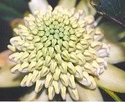 an overhead closeup view of a waratah flowerhead, this time a greenish white in colour