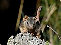 Yellow-footed Antechinus (Antechinus flavipes) - Crusoe Reservoir, Kangaroo Flat, Vic..jpg