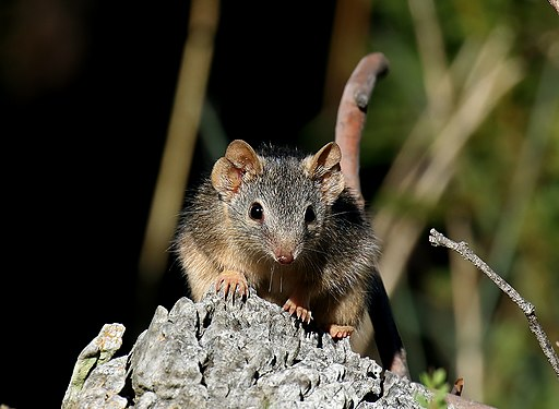 Yellow-footed Antechinus (Antechinus flavipes) - Crusoe Reservoir, Kangaroo Flat, Vic.