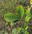 Yellow clover leaves (1) (42189240620).jpg
