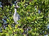 Yellow crowned night heron in la manzanilla mexico-1.jpg