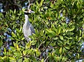 Yellow crowned night heron in la manzanilla mexico-1.jpg