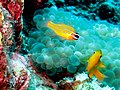 Yellow fishies (5717431811).jpg