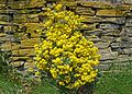 Yellow flowers in the wall (26905085511).jpg