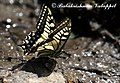 Yellow swallowtail theerthan valley 2011 04 23 1785 1 (6431295853).jpg