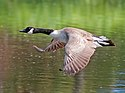 Yep! Another Goose ).jpg