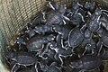 Young Green Sea-Turtle hatching in the hatchery - Meru Bethiri - Java MG 6515 (29873385032).jpg