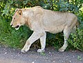Young Lion (Panthera leo) (13943728191).jpg