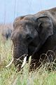 Young Tusker.jpg