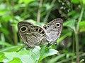 Ypthima huebneri – Common Four-ring mating 04.jpg