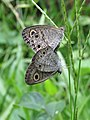 Ypthima huebneri - Common Four-ring mating at Peravoor (5).jpg