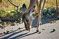 ZA-KNP-impala-marula.jpg