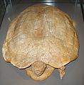 Zangerlia neimongoliensis.jpg