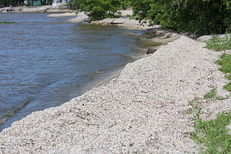 National Invasive Species Act - Zebra mussels line the shore of Lake Michigan
