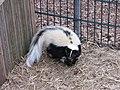 Zoo des 3 vallées - Mouffette rayée - 2015-01-02 - i3441.jpg