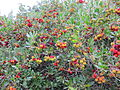 Zreli in zeleni plodovi z nastavki cvetov.JPG