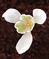 'Bolgewas-Galanthus-Sneeuwklokje-01.jpg