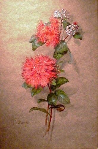 Helen Thomas Dranga - Image: 'Ohia Lehua Blossoms' by Carrie Helen Thomas Dranga, undated, gouache