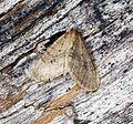 (1799) Winter Moth (Operophtera brumata) - Flickr - Bennyboymothman (1).jpg
