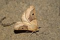 (1921) Scalloped Oak (Crocallis elinguaria) (3686022198).jpg