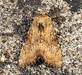 (2335) Slender Brindle (Apamea scolopacina) (5881484977).jpg