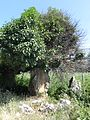 Τhe petrified tree at the Greek Prespa Lake coast A.jpg