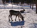 Вожак стада - panoramio.jpg