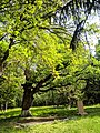 Дерево, Парк Глібова, Веселий Поділ 02.jpg