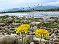 Квіти на алювіальних відкладах річища реки Свіча.jpg